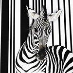 Аватарки 150x150 зебра просто мастер
