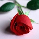 Аватар с красной розой, скачать картинки с цветами