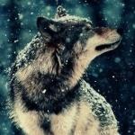 Волк с закрытыми глазами наслаждается падающим снегом