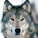 Серый волк ждёт свою Красную шапочку