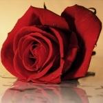 Красная роза лежит на мокром стекле