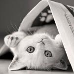 Белый кот лежит на спине, укрывшись газетой