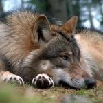 Дикий волк лежит в лесу на земле, выбора не много