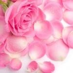Розовая роза лежит на лепестках