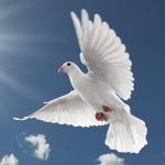 Белый голубь летит на фоне ясного неба