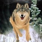 Волк с радостной мордой бежит по снегу