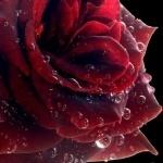 Красная роза с капельками воды на лепестках
