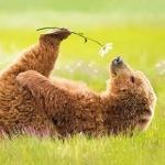 Романтичный медведь нюхает цветочек лёжа на поляне