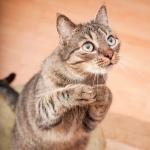 Котик мило просит вкусняшек, стоя на задних лапах
