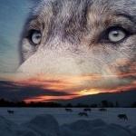 Стая волков и глаза волка на фоне заката