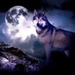 Волк стоит на фоне огромной луны в облаках