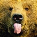 Морда медведя с высунутым языком
