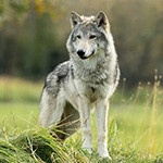 Дикий волк в хвойном лесу ждёт девочку с пирожками
