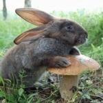 Заяц возле большого гриба