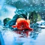 Цветок лежит на мокром асфальте