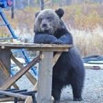 Прикольный медведь стоит оперевшись о деревянный стол