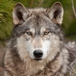 Серый волк рядом с еловой веткой