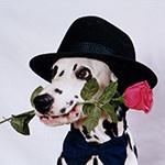 Далматин в шляпе и с красной розой в пасти