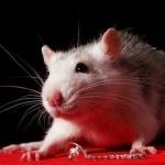 Крыса продаёт какую-то бижутерию на красной ткани