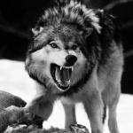 Волк не собирается делиться добычей