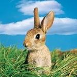 Картинка с ушастым зайцем выглядывающим из травы для аватара