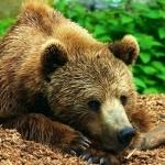 Бурый медведь отдыхает положив лапы под голову