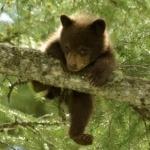 Ловкий медвежонок залез на ветку дерева
