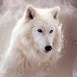 Красивая картинка с мордой белого волка