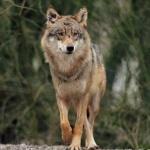Почему волк санитар леса догадаться не сложно