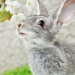 Серый заяц нюхает цветущее дерево