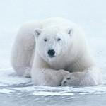 Белый медведь лежит на льду, больше неначем