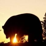 Силуэт идущего медведя