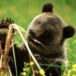 Медвежонок пробует вырванную из земли траву на вкус