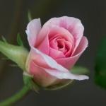 Цветы   аватар