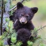 Медвежонок залез на сосну
