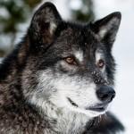 Фото волка, который зимой ищет себе пропитание