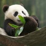 Прикольные картинки с пандами
