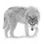 Большой серый волк с жёлтыми глазами стоит на снегу