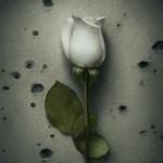 Белая роза на фоне стены с дырками
