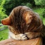 Кот закрывает обеими лапами морду