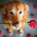 Собака с грустными глазами держит розу во рту