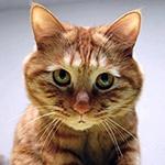 Рыжий кот смотрит прямо в душу