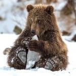 Медвежонок играет с куском льда