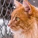 Рыжий кот смотрит сквозь сетчатый забор