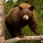 Бурый медведь залез на сосну