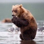 Медведь что-то жрёт, стоя в воде и озираясь