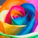 Роза с разноцветными лепестками