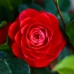 Яркое фото с растущей красной розой