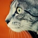 Кошачья морда на оранжевом фоне