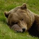 Бурый медведь спит на траве, положив под голову лапу